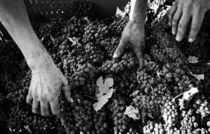 notte rossa vendemmia uva in puglia